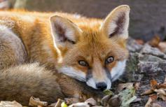 Image Source: http://images.freehdw.com/510/animals_other_red-fox_62949.jpg