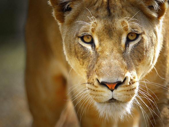 lioness-wallpaper-1